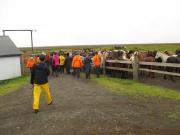 Hästarna vid gården Stóri-Kálfalækur före avfärd