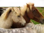 Flera söta hästar