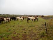 Hästarna i lä av lavafältet