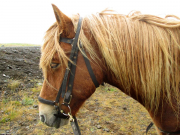 Hästen Gneisli som Mats red fösta dagen