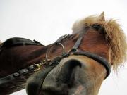Hästen Gneisli