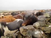 Hästbyte vid uppsamlingsplatsen för får vid Hítardalur