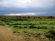 Hästar på Stóri-Kálfalækur