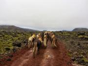 Löshästarna på väg upp genom lavafälten
