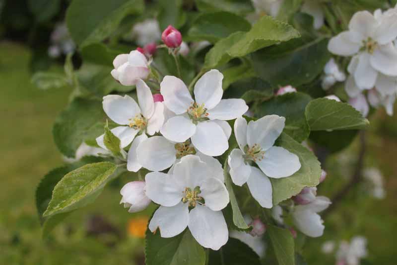 Vår på Lindgatan - Äppelblom